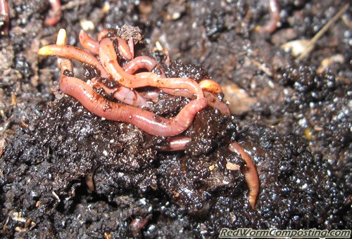 Worms Love Coffee Grounds...Or Do They??