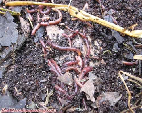 worm composting coffee grounds
