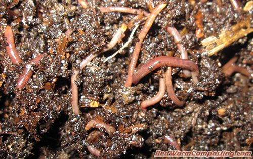 coffee grounds for worms