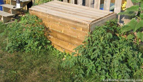 Compost Bin Tomatoes