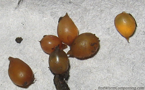 European Nightcrawler Cocoons