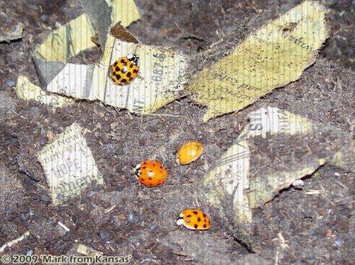 Lady Bugs in OSCR Bin