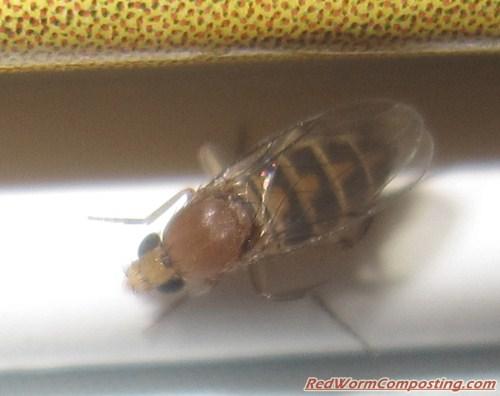 how to get rid of fruit flies in worm bin