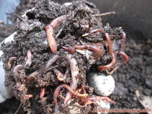 Apart From The Worms Themselves I Also Found Plenty Of Cos Along With A Diverse Compost Ecosystem Critters
