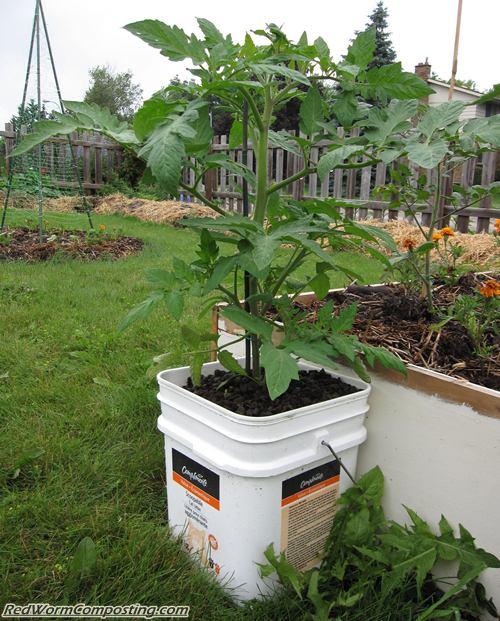 Large Redwood Planter Box For Tomatoes: Vermi Tomato Buckets