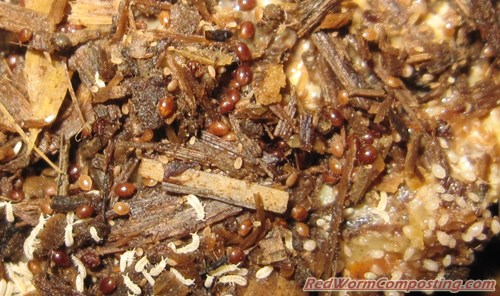 vermicomposting thesis Selection of earthworms for vermicomposting vermicompost is the product or process of composting using various worms, usually red wigglers to create a.