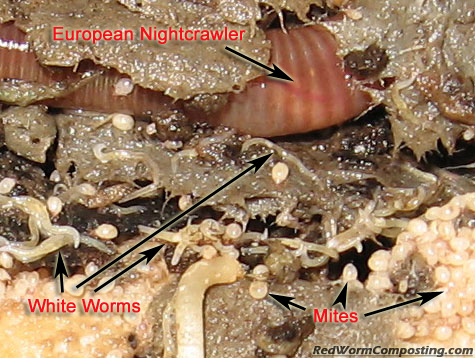 Close-Up of White Worms, European Nightcrawler and Mites