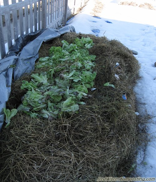 Adding lettuce to winter worm bed