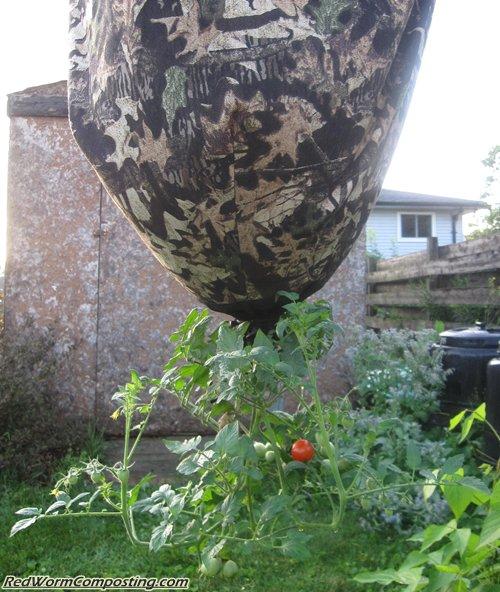 Worm Inn Tomato Garden